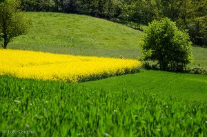 ruy-monc-colza-fleuri-vert-(3)_LOIC_CAUCHY_CAPI_WEB